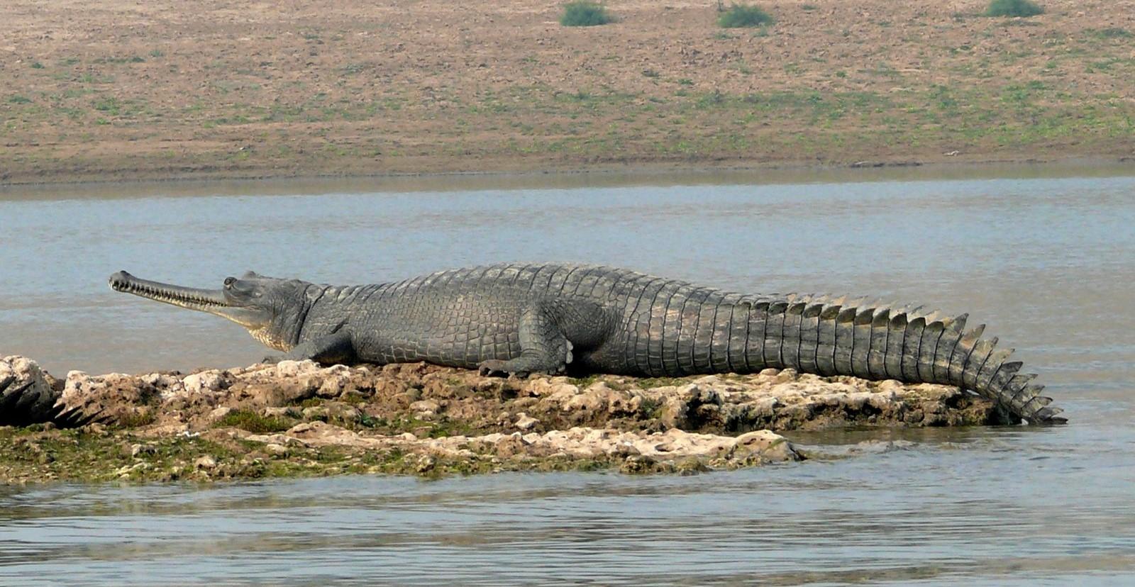 gharials in Bihar