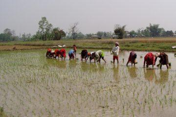 Bihar Paddy