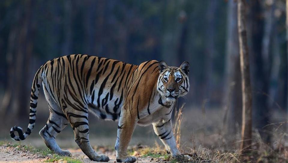 Valmiki Nagar Tiger